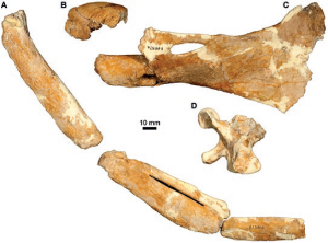 Holotype of Pachydyptes simpsoni. Unfortunately this is the most complete fossil penguin yet found in Australia, perhaps a reason for the lack of research! From Park & Fitzgerald, 2012. Photo taken E. M. G. Fitzgerald.