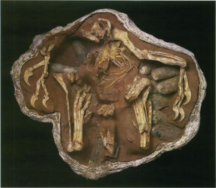 The more contemporary view of Oviraptorids. Citipati is shown here brooding on its nest of eggs in a pose that you can still see today in living birds. Image from Clark et al. 1999.
