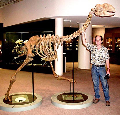 A skeletal reconstruction of Dromornis stirtoni with human for scale showing just how big these animals could have been. Image from www.carnivoraforum.com.