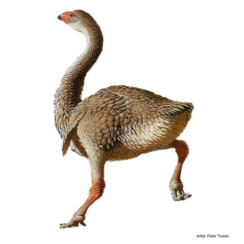 This is another Peter Trusler reconstruction, this time of the late Pleistocene species Genyornis newtoni. This species could well have encountered the first humans to arrive in Australia, but were they the cause of their extinction?