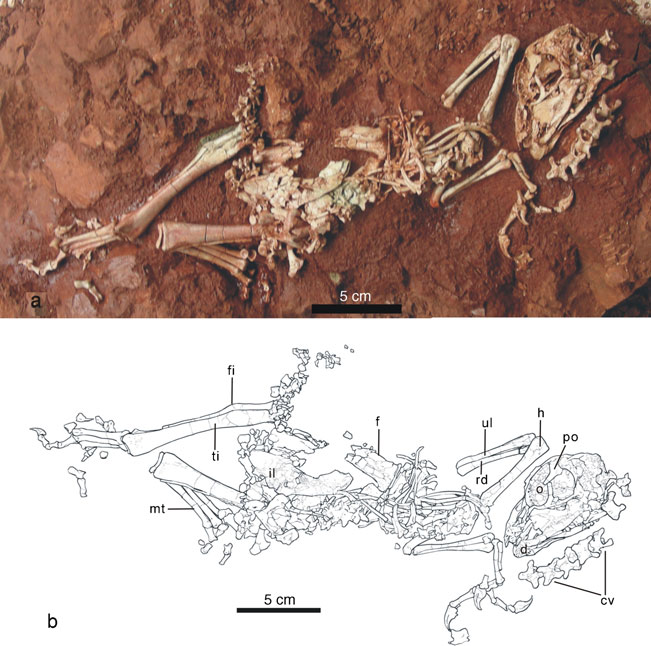 Baby dinosaur! This is the juvenile skeleton of Yunlong mini, as well as a line drawing to help you decipher which bones are which. Image from Lu et al., 2013.