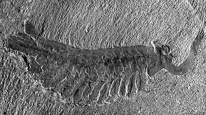 This odd looking creature is Opabinia, one of the enigmatic products of the Cambrian explosion. It possessed five eyes which were on stalks, and a long proboscis which it used to grab its food! Image from paleobiology.si.edu