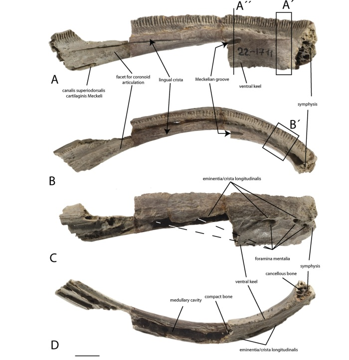 The holotype dentary of Ukrainurus hypsognathus shown in A, lingual; B, dorsal; C, labial; D, ventral views. Scale bar = 1 cm. Image from Vasilyan et al. 2013.