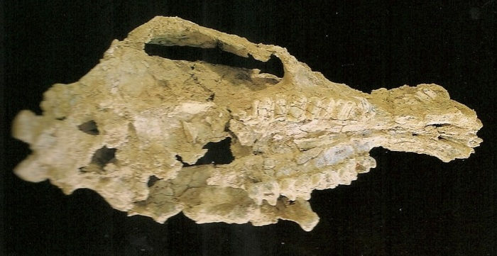 The holotype skull of Alkwertatherium webbi. Apologies for the crappy picture quality, this is a scan from Wildlife of Gondwana by Pat & Tom Rich.