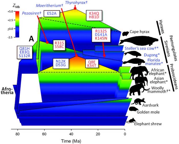 Figure showing the evolution of myoglobin net surface charge and aquatic habits in Afrotheria. Note how the fossil proboscidean Moeritherium was more aquatic than modern taxa. Image from Mirceta et al. 2013.