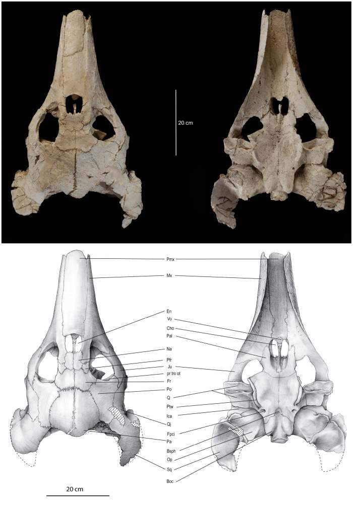 Here's the holotype skull of Ocepechelon bouyai. You can see the elongated, toothless rostrum and enlarged squamosals that make the authors compare it to a beaked whale. Image from Bardet et al. 2013.