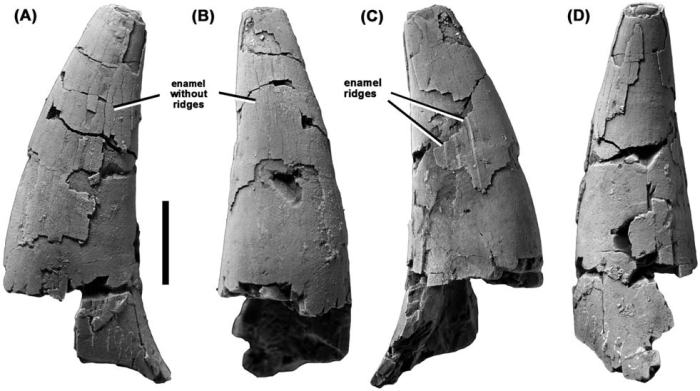 Figure showing NMV P198945 in A, C, undetermined, B, labial, and D, lingual views. Image from Benson et al. 2013