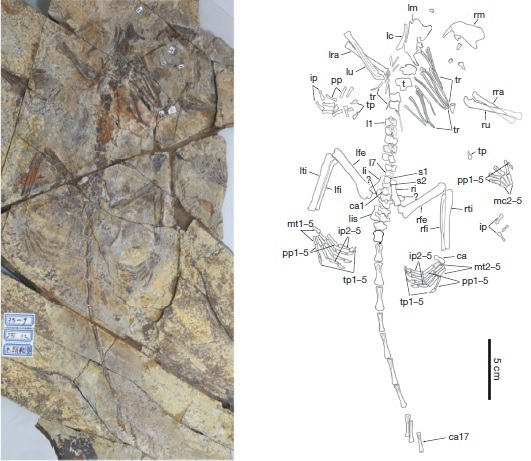 The holotype specimen of Arboroharamiya jenkinsi, with a line drawing indicating the locations of the elements. From Zheng et al. 2013.