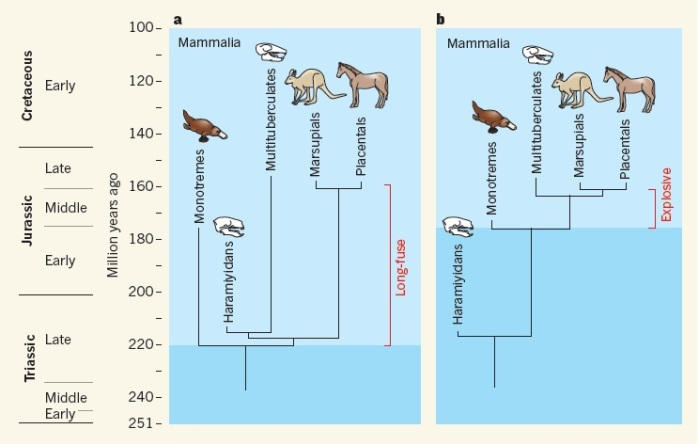 a, the phylogeny reached by Zhengh et al. b, the phylogeny reached by Zhou et al. you can see the origin date of mammals and the position of the haramiyids differs in the two phylogenies. From Cifelli & Davis, 2013.