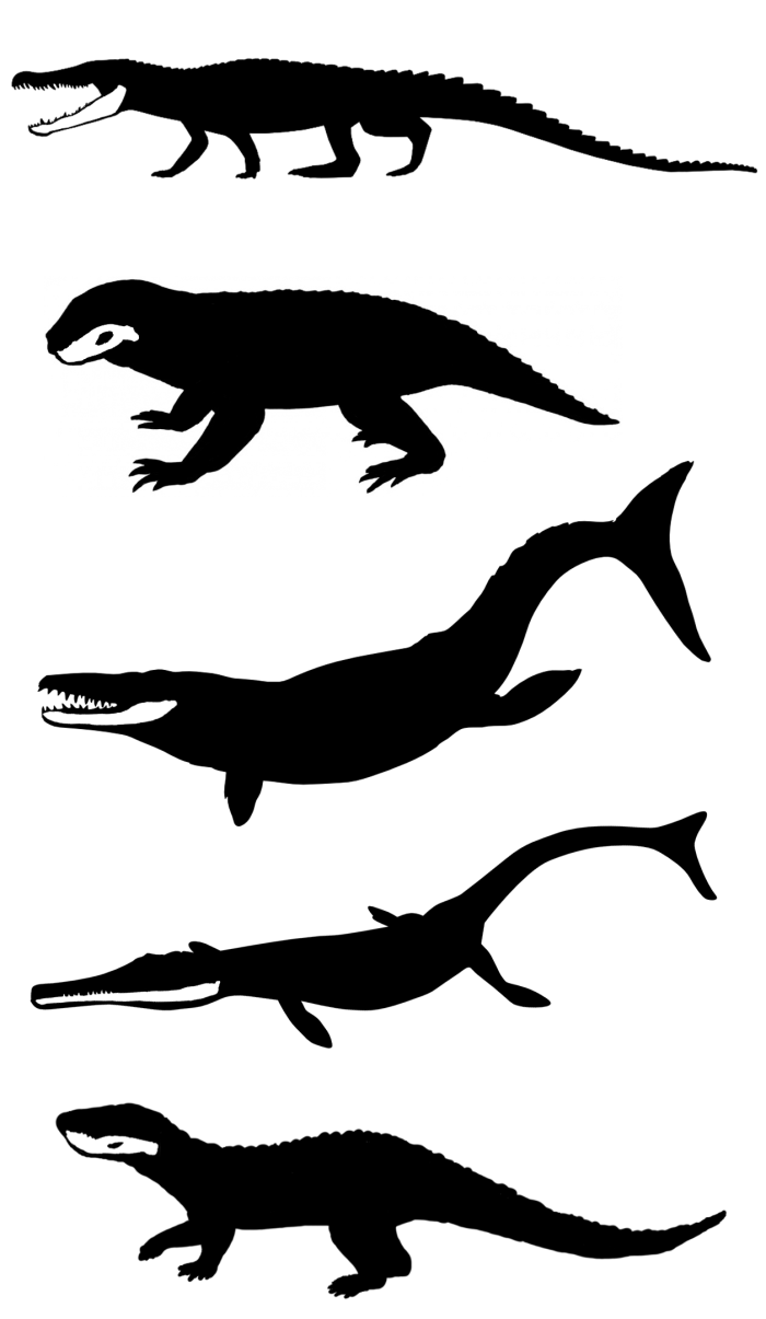 A sample of the morphological diversity seen in Mesozoic crocodiles, with the  lower jaws highlighted in anatomical position. From top to bottom the animals  are: Goniopholis (Jurassic to Cretaceous), Simosuchus (Cretaceous), Dakosaurus  (Jurassic to Cretaceous), Cricosaurus (Jurassic to Cretaceous) and  Mariliasuchus (Cretaceous). The silhouettes are not to scale. Image created by  Tom Stubbs using silhouettes from http://phylopic.org. Image source EurekAlert! media release.