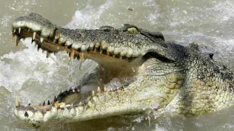This is what we picture crocodiles as today. In the Mesozoic however, dog-like, fully marine, and even herbivorous crocs were running and swimming around! Image source: news.com.au