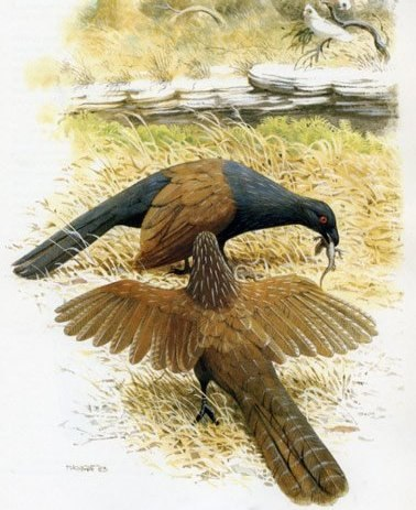 A reconstruction of the giant coucal (Centropus colossus) feeding on a small lizard just in front of the sink hole whereits fossils where found. Image by Frank Knight, from Kadimakara.