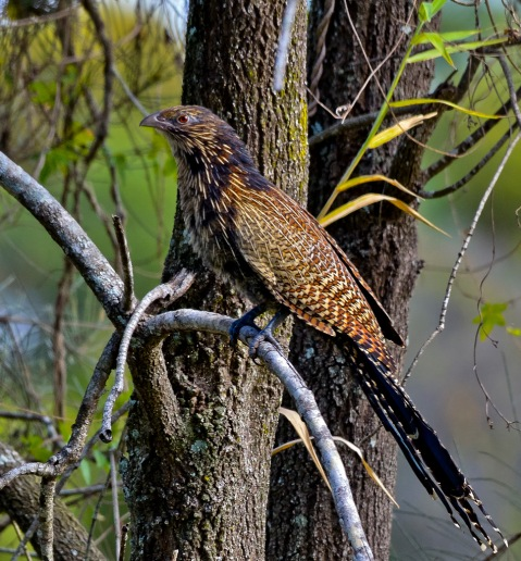 This is the pheasant coucal (Centropus phasianinus), the only living australian coucal species. Image source: Wikipedia.